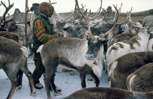 Chukchi nomadic Turvaurgin in reindeer separation, Winter 2005. Photo: Snowchange