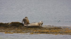 iceland harbour seals