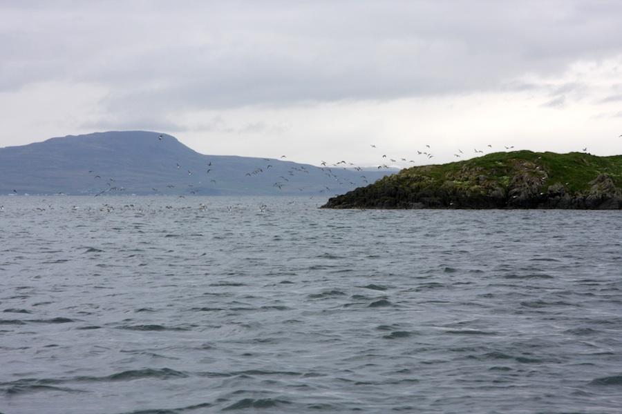 iceland puffins in flight