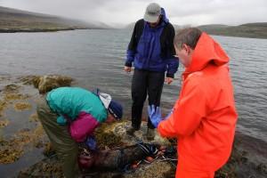 iceland seal hunt