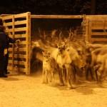 Mr. Steffensen took part in the Skolt Saami round up of reindeer, December 2009. Snowchange, 2009