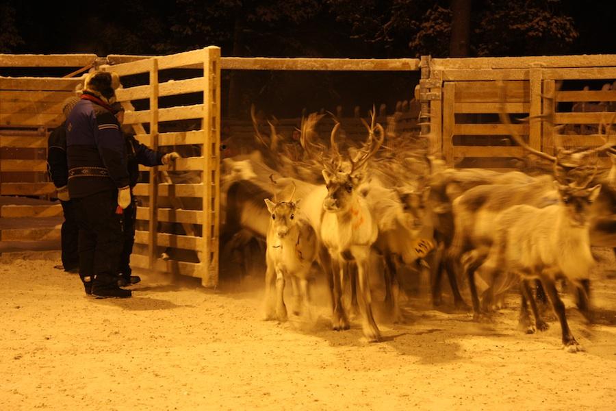 Skolt Saami Round - Up Of Reindeer. Snowchange, 2015