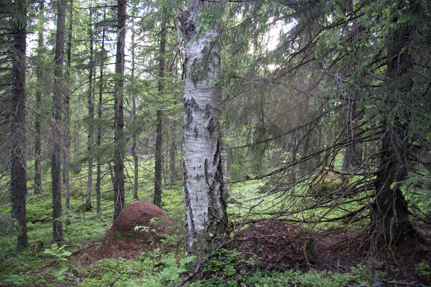 Ostola forest was saved in 2015.