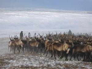 Kolyma herding