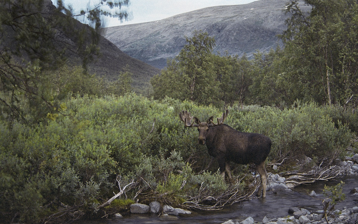 Moose in Sarek National Park, Sweden. Heikki Willamo, 2016.