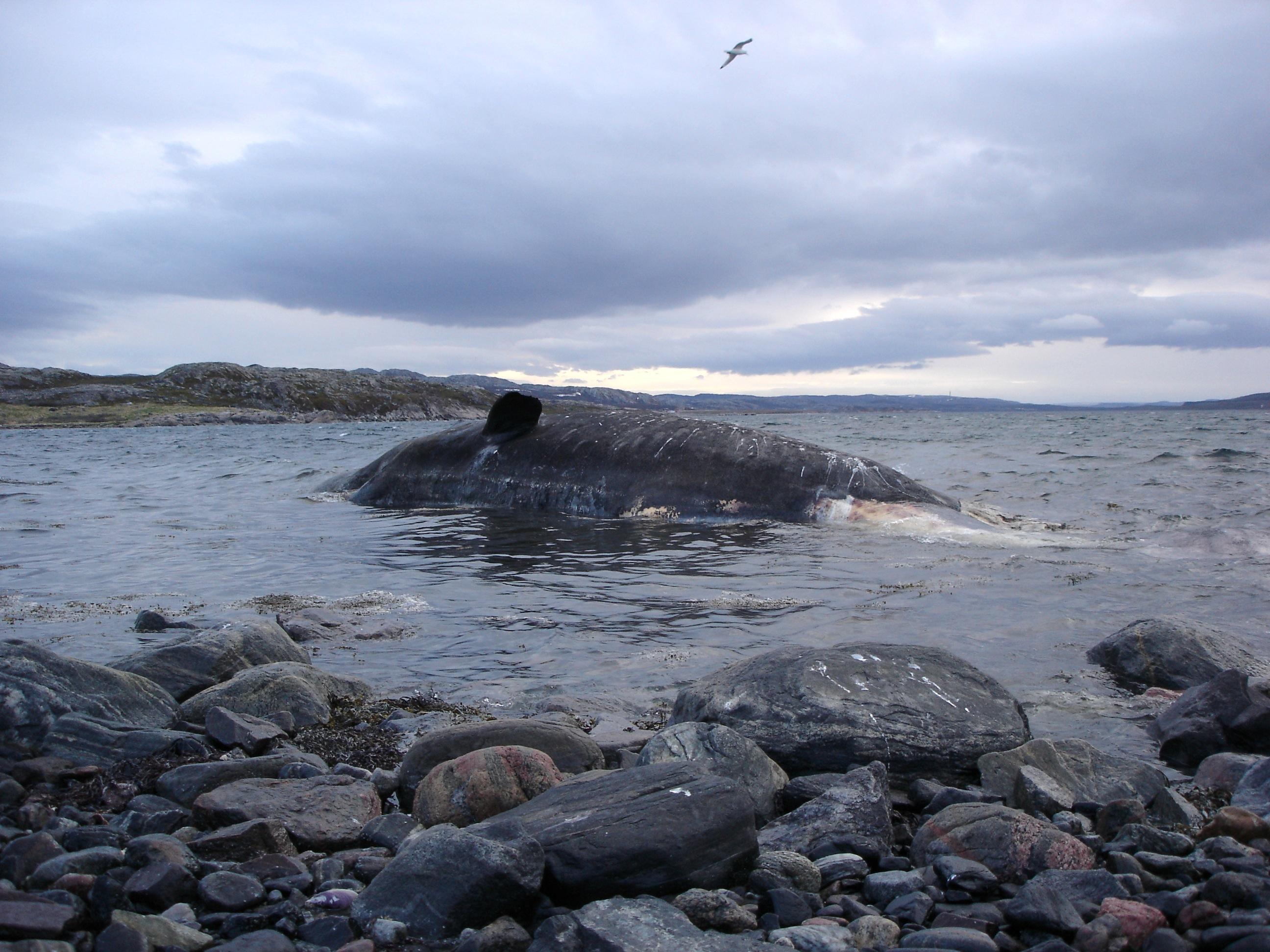 A dead sperm whale on the Sámi coast, Norway, 2007