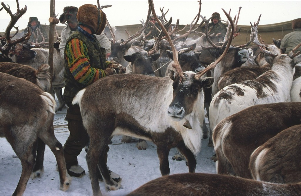 Reindeer roundup in the Lower Kolyma, Yakutia, 2005.