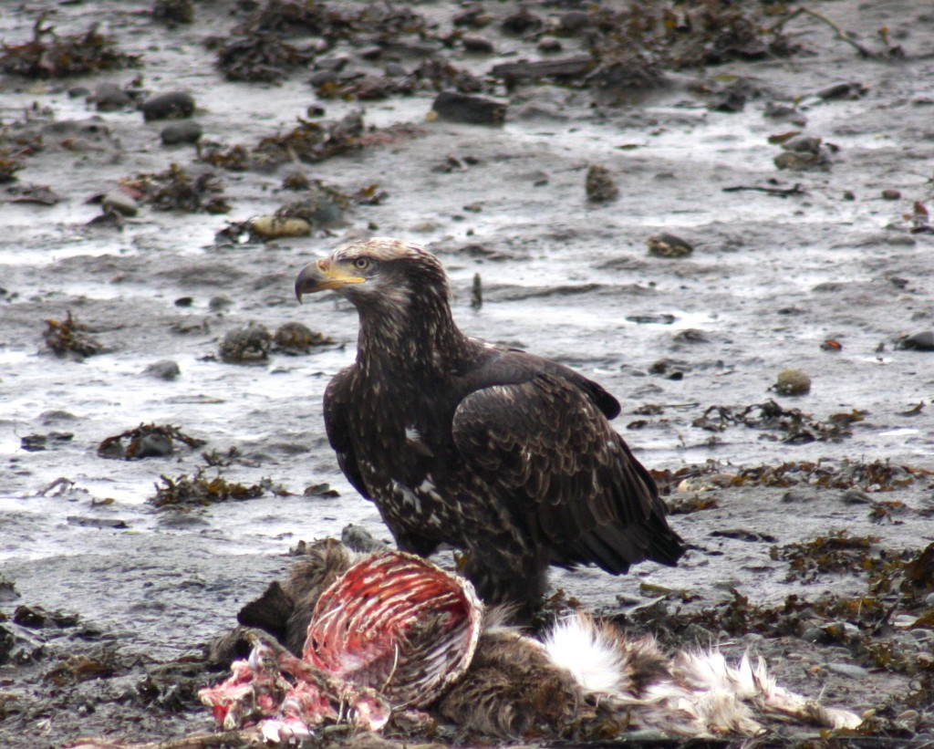 Bald eagle harvesting on a deer in Haida Gwaii, Winter 2008-2009.