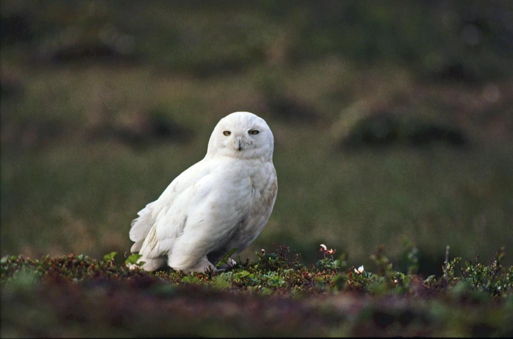Snowy owl lives in the close proximity to the Arctic restoration sites. Photo: Eero Murtomäki