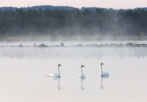 Summer swans on Linnunsuo wetland, North Karelia, Finland. Mika Honkalinna / Snowchange