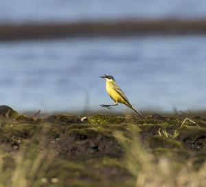 Western yellow wagtail. Mika Honkalinna / Snowchange
