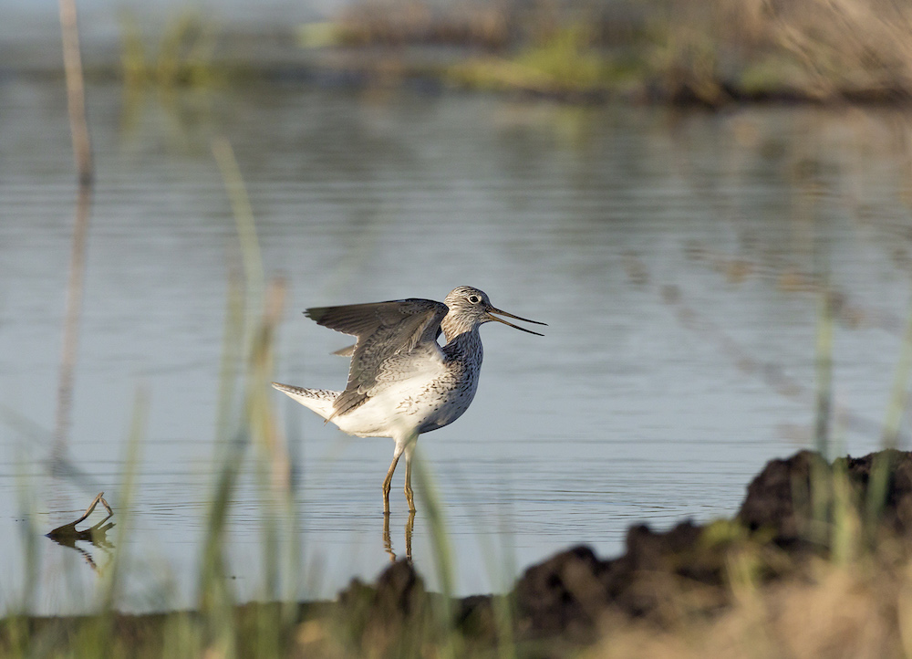 Common greenshank on Linnunsuo. Mika Honkalinna / Snowchange