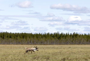 Reindeer on Pitämisuo, Finland. Mika Honkalinna