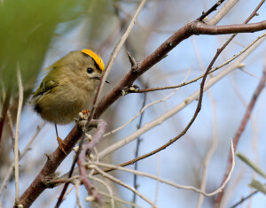 GoldCrest. Wikipedia, used with permission, 2020.