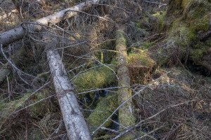 Decaying timber is the 'engine' of the OGF boreal forests and species. Snowchange, 2019