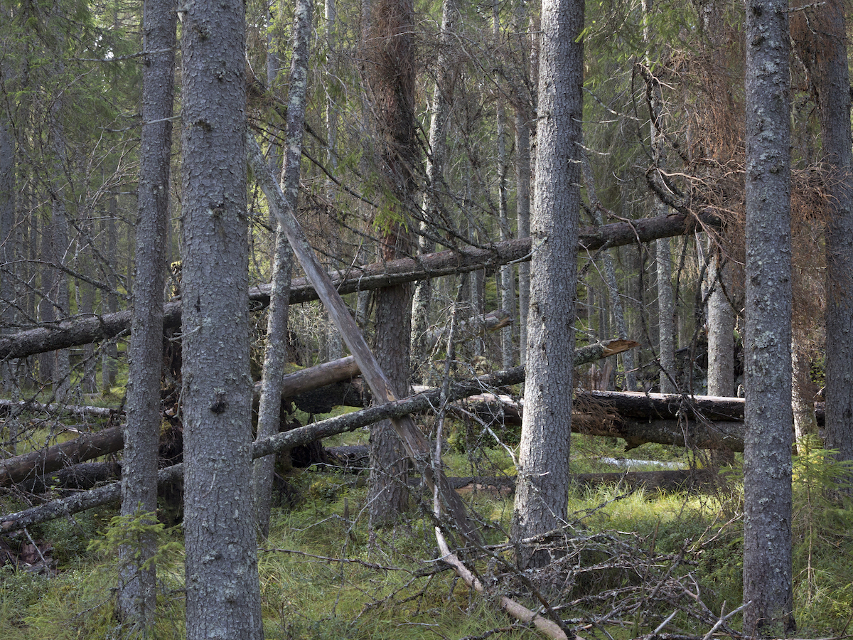 Old Growth Forests are key habitats for the Koitajoki basin. Photo: Eero Murtomäki, Snowchange