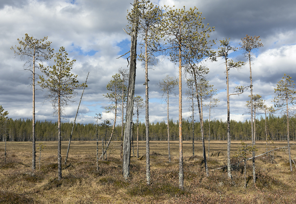 Keljonsuo is one of the first rewilding sites already secured on the Koitajoki basin.